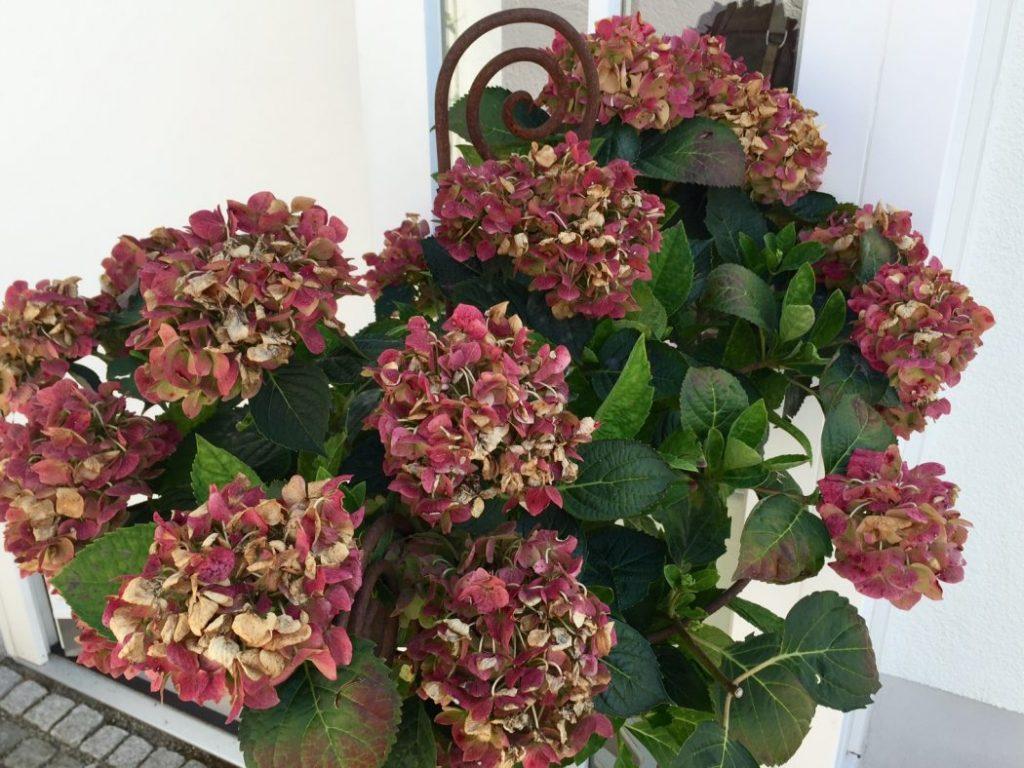 hortensien mit mehltau